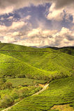 Tea Farm. Under a beautiful sunny day with relaxation environment Royalty Free Stock Image