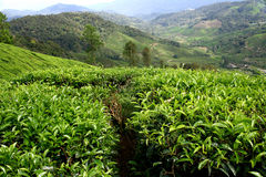 Tea Farm Royalty Free Stock Image