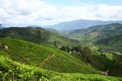 Tea Farm Stock Photos