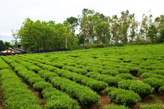 Tea farm. Take from Chiangrai Province,North of thailand Royalty Free Stock Image