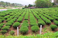 Tea farm. Take from tea farm in Thailand,countryside of Chiangrai Province Stock Images
