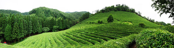 Tea farm. Panoramic view of the Boseng tea fields in south korea
