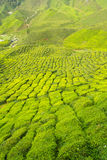 Tea farm. In the Cameron Highlands, Malaysia Royalty Free Stock Images