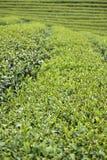 Tea farm Stock Photography