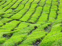 Tea Farm Stock Photos