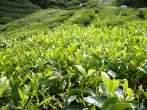 TEA FARM. In The Malaysia Royalty Free Stock Photos