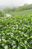 Tea farm,alishan mount,Taiwan. With a house Royalty Free Stock Photo