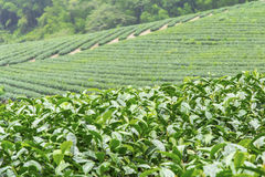 Tea farm,alishan mountain Stock Photos