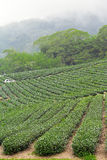 Tea farm,alishan mountain. Taiwan,close up Royalty Free Stock Image