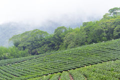 Tea farm,alishan mountain Royalty Free Stock Images