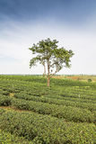 Tea farm with blue sky Stock Photos