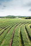 Tea farm with blue sky Royalty Free Stock Images