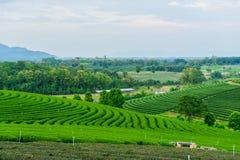 Tea farm blue sky. Green Tea farm blue sky Stock Photos
