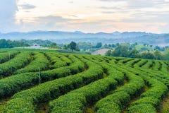 Tea farm blue sky. Green Tea farm blue sky Royalty Free Stock Images
