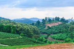 Tea farm blue sky. In thailand Stock Images
