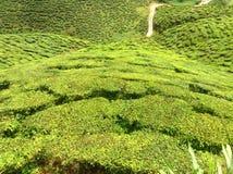Tea farm. In cameron highland Stock Photography