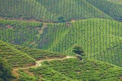 Tea farm. In cameron highland Royalty Free Stock Photos