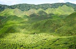 Tea plantation. Tea farm at Cameron Highlands royalty free stock photo