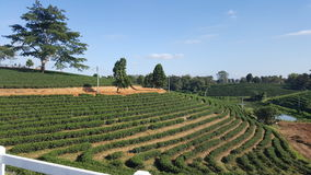 Tea farm. In Chiang Rai Royalty Free Stock Photo