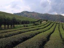 Tea farm. Chiangrai in the Royalty Free Stock Photo