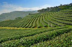 Tea farm field, Thailand Royalty Free Stock Image