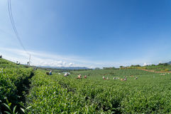 Tea Farm Stock Images