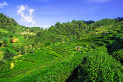 Tea farm on the high mountain. At chiangmai thailand royalty free stock images