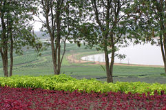 Tea farm on the hill with flowers plants and trees Stock Image