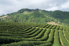 Tea farm on hill Stock Image