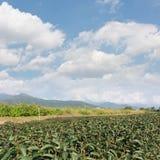 Tea farm Royalty Free Stock Images
