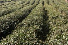 Tea farm Stock Image