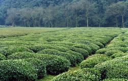 Tea farm of longjin tea Stock Photos