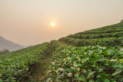 The tea farm. Stock Photo