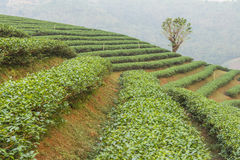 The tea farm. Stock Images