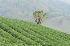 The tea farm. Stock Photos