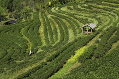 The tea farm. A man is farming his tea farm Stock Photos