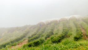 Tea farm with misty fog in thailand Royalty Free Stock Images