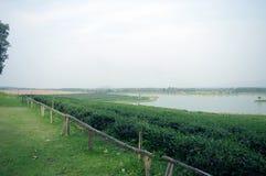 Tea farm on the mountain with lake Stock Photo
