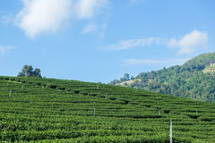 Tea farm royalty free stock photography