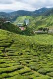 Tea farm on the moutain Royalty Free Stock Image
