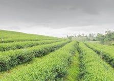 Tea farm Royalty Free Stock Photos