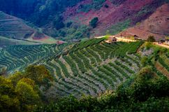 Tea farm organic Tea farm 2000 Doi Ang Khang Chiang Mai Thailand in the morning stock photos