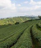 Tea farm plantation Stock Photos
