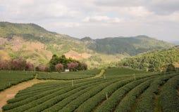 Tea farm plantation Stock Photo