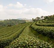 Tea farm plantation Royalty Free Stock Photography