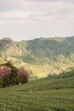 Tea farm plantation Royalty Free Stock Images