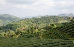 Tea farm plantation Royalty Free Stock Photos