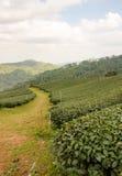 Tea farm plantation Royalty Free Stock Image
