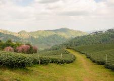 Tea farm plantation Royalty Free Stock Photo