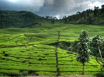 Tea Farm Before Rainstorm Royalty Free Stock Images
